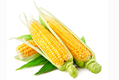 """玉米市場化改革迎來""""三變"""""""