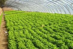 肇东:有机蔬菜销全国